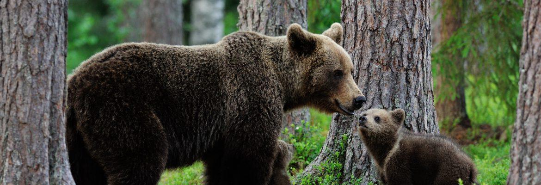 L'orso delle foreste Slovene